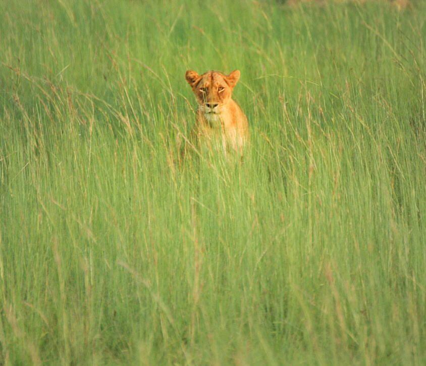 A Lion in the green grass fields in Uganda