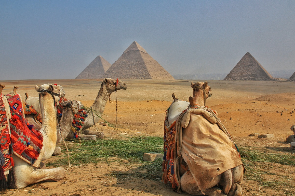 three camels looking out to the The Great Pyramids of Giza, Cairo