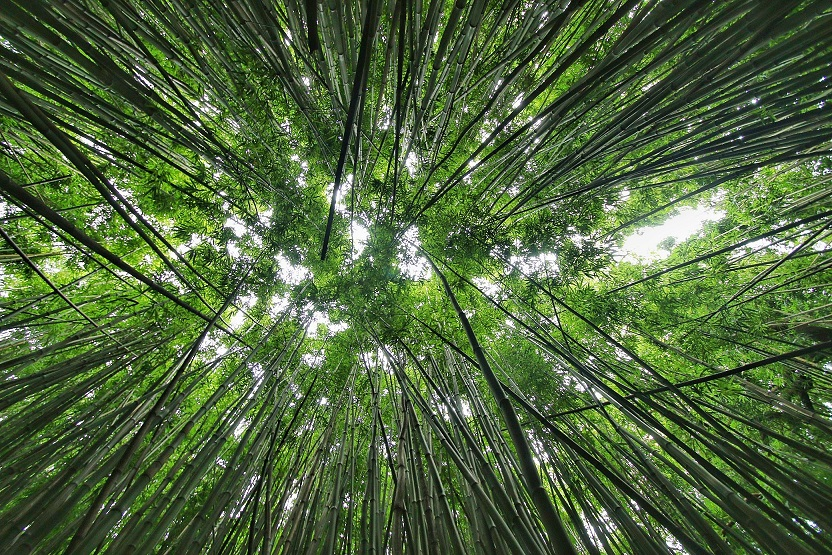 Looking up at the massive amount of bamboo trees on the Pipiwai Trail