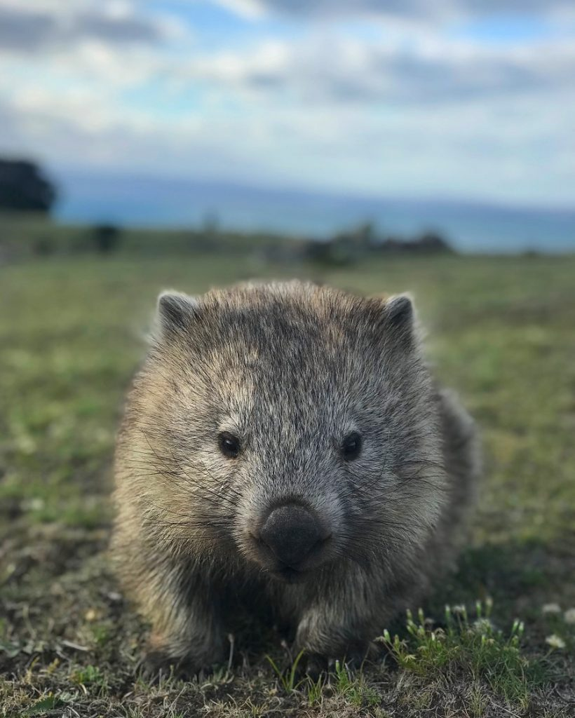 A wombat looking start into the camera on Maria Island