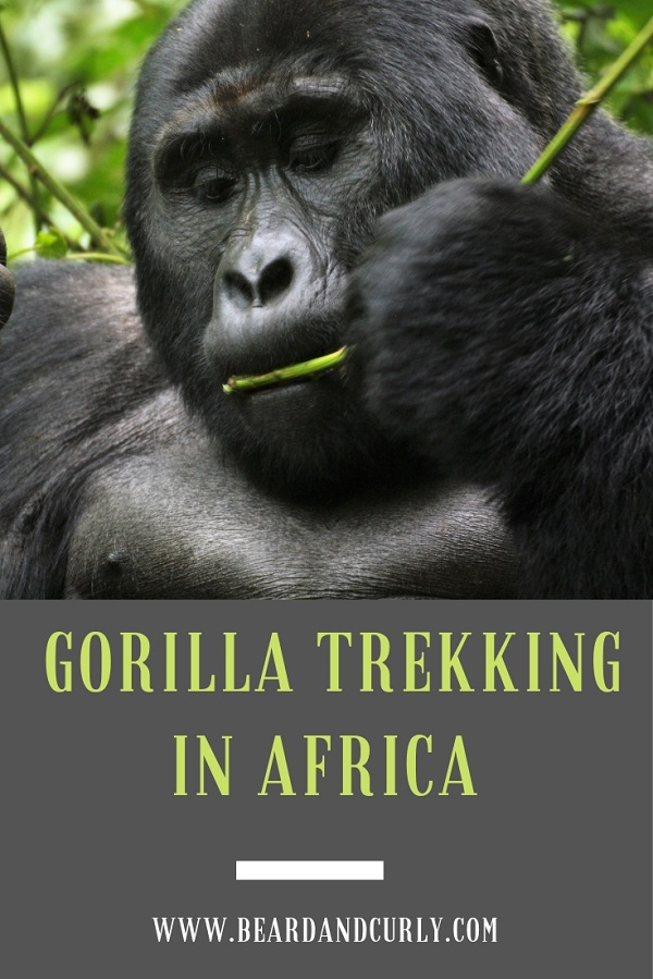 How to Pick a Gorilla Trek in Africa. We spent 3 months traveling in East Africa and seeing Gorillas in Uganda was one of the highlights. This guide follows the different ways to see these amazing creatures. By: Beard and Curly (@beard_and_curly)